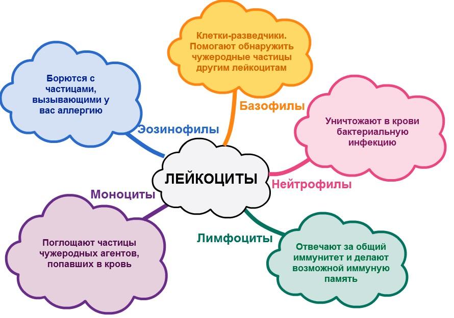 Основные виды лейкоцитов